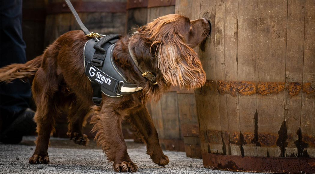 """Destilaria escocesa """"contrata"""" cachorro para controlar qualidade de whisky"""