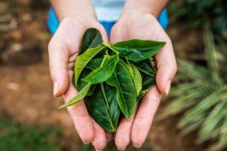 Como funcionam o cultivo e a produção de erva-mate e chá-verde no Brasil